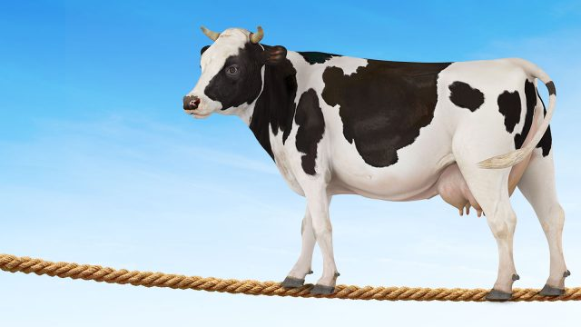 Just insure the cow
