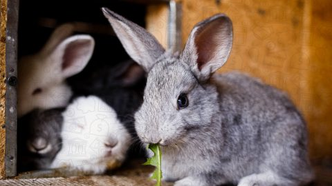 Raising rabbits for profit